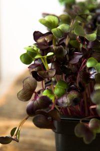 Close up of dark purple microgreens